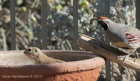 bird and male quail 3-imp